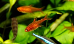 Tetra fish for tanks
