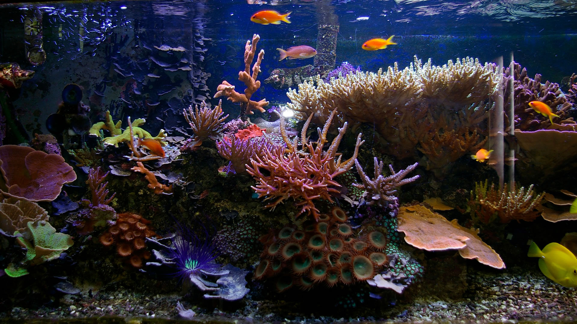 Aquariums : Tropical saltwater aquarium wallpaper, with colorful plants, corals ...